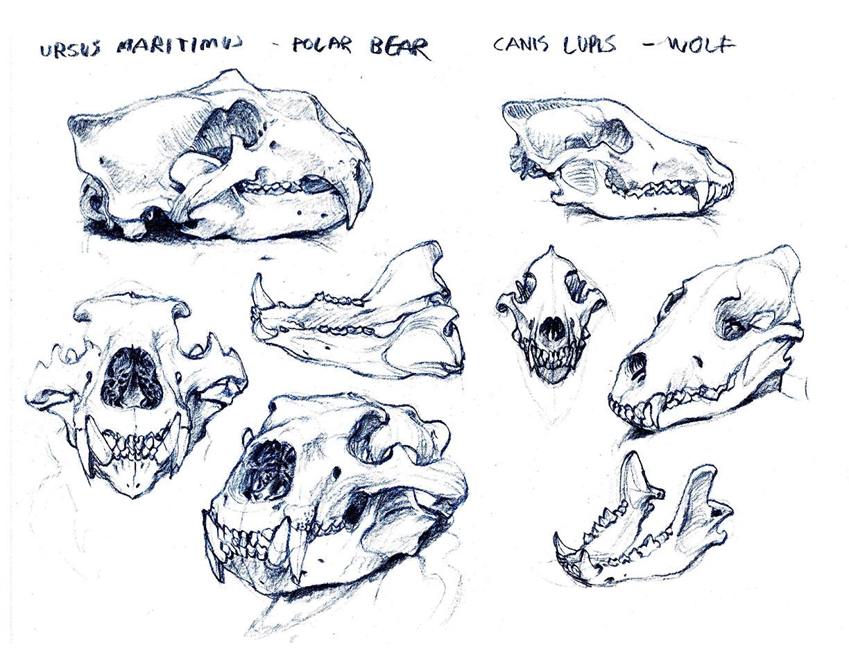 Matt rhodes museumdrawings01 polarbearandwolfskulls small